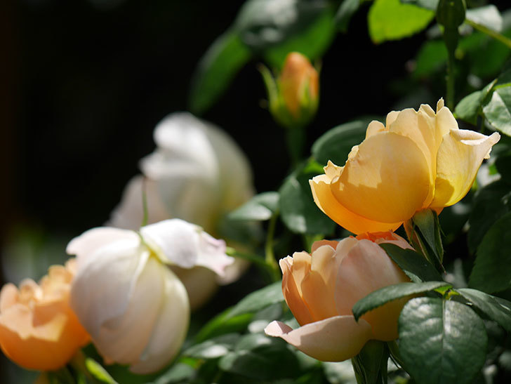 コントゥ・ドゥ・シャンパーニュ(ツルバラ)の花が咲いた。2019年-1.jpg