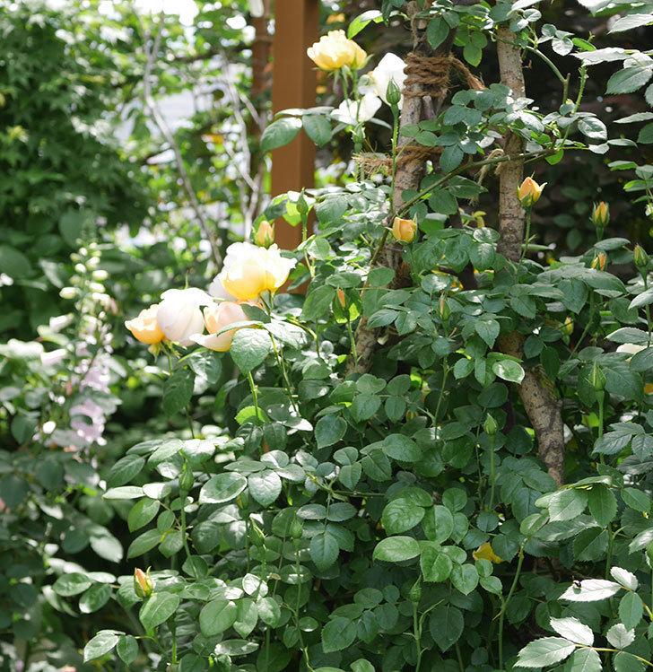 コントゥ・ドゥ・シャンパーニュ(ツルバラ)の花が咲いた。2019年-10.jpg