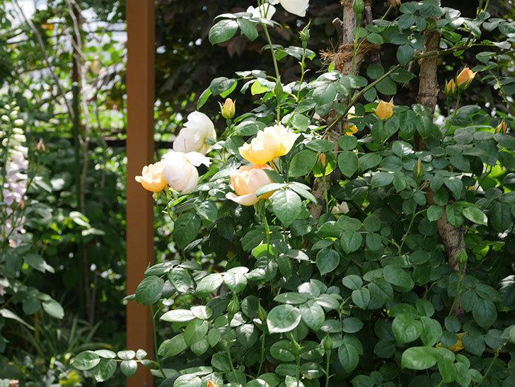 コントゥ・ドゥ・シャンパーニュ(ツルバラ)の花が咲いた。2019年-11.jpg