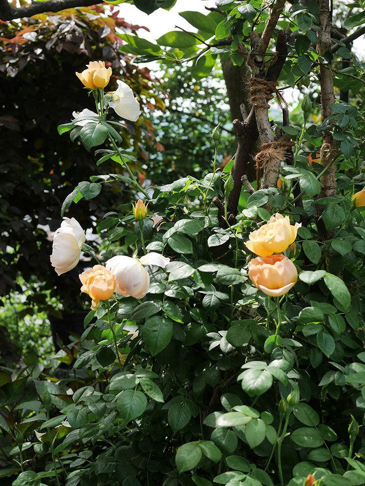 コントゥ・ドゥ・シャンパーニュ(ツルバラ)の花が咲いた。2019年-13.jpg