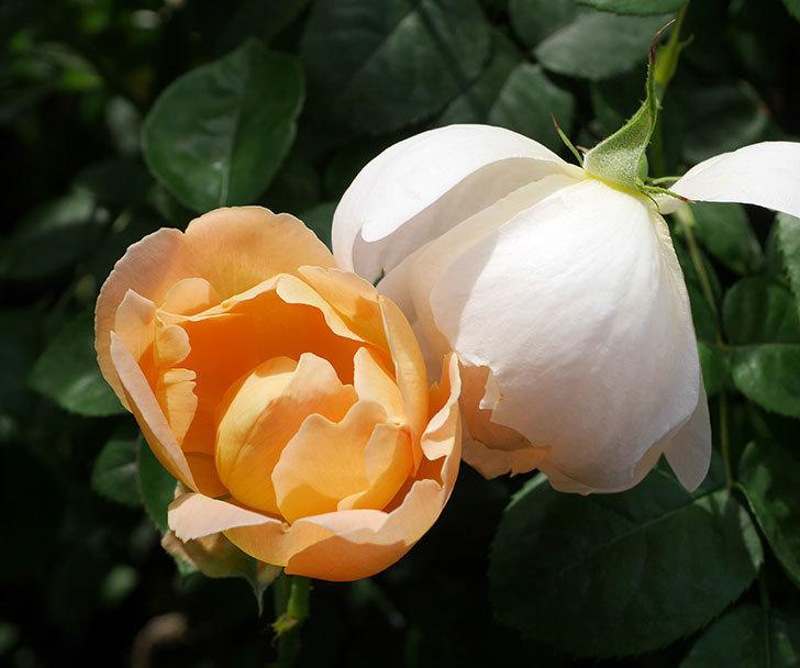 コントゥ・ドゥ・シャンパーニュ(ツルバラ)の花が咲いた。2019年-14.jpg