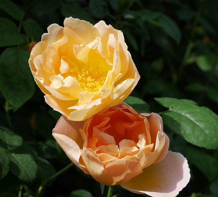 コントゥ・ドゥ・シャンパーニュ(ツルバラ)の花が咲いた。2019年-15.jpg