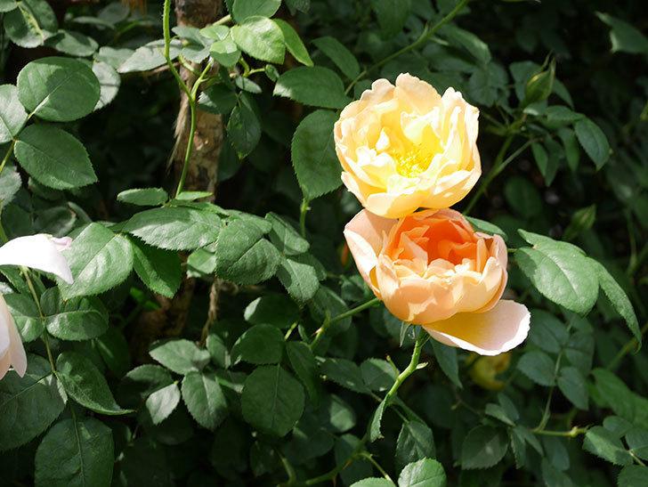 コントゥ・ドゥ・シャンパーニュ(ツルバラ)の花が咲いた。2019年-16.jpg