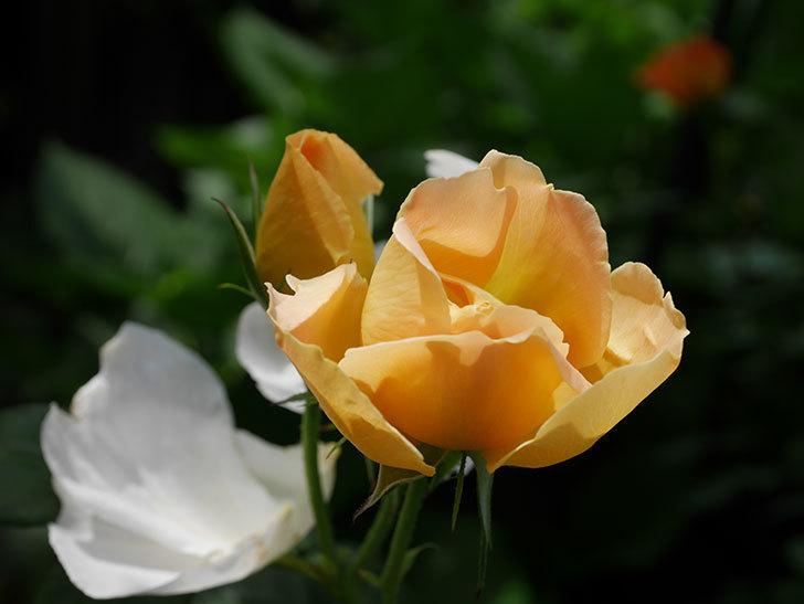 コントゥ・ドゥ・シャンパーニュ(ツルバラ)の花が咲いた。2019年-17.jpg