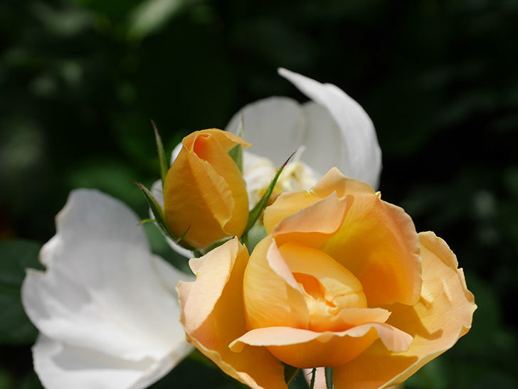 コントゥ・ドゥ・シャンパーニュ(ツルバラ)の花が咲いた。2019年-18.jpg