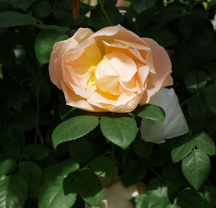 コントゥ・ドゥ・シャンパーニュ(ツルバラ)の花が咲いた。2019年-19.jpg