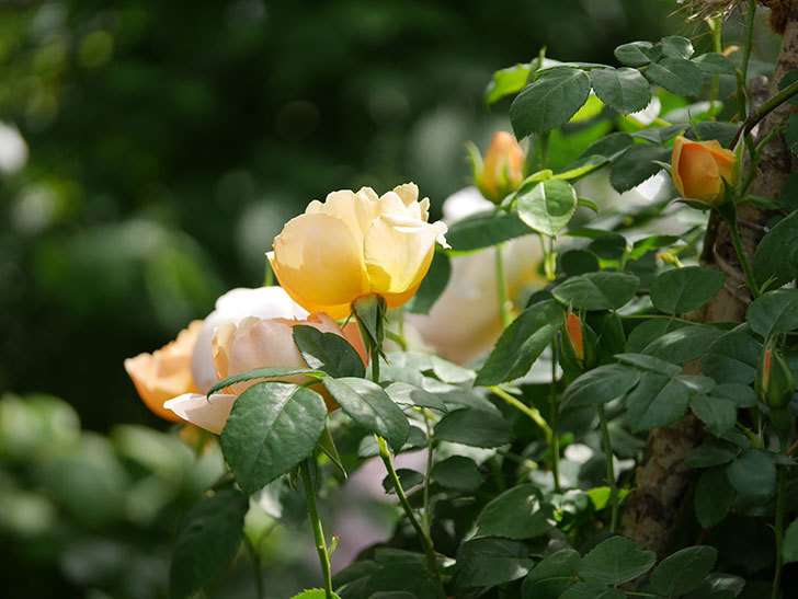 コントゥ・ドゥ・シャンパーニュ(ツルバラ)の花が咲いた。2019年-2.jpg