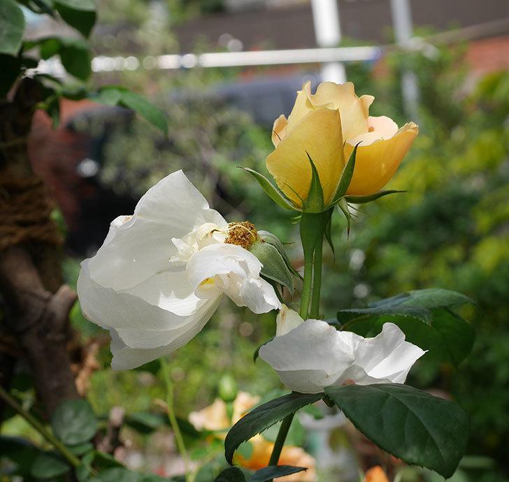 コントゥ・ドゥ・シャンパーニュ(ツルバラ)の花が咲いた。2019年-20.jpg