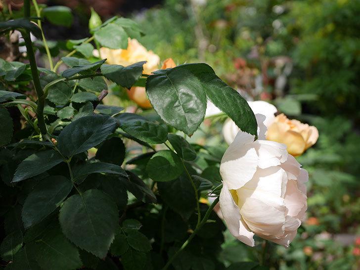 コントゥ・ドゥ・シャンパーニュ(ツルバラ)の花が咲いた。2019年-21.jpg