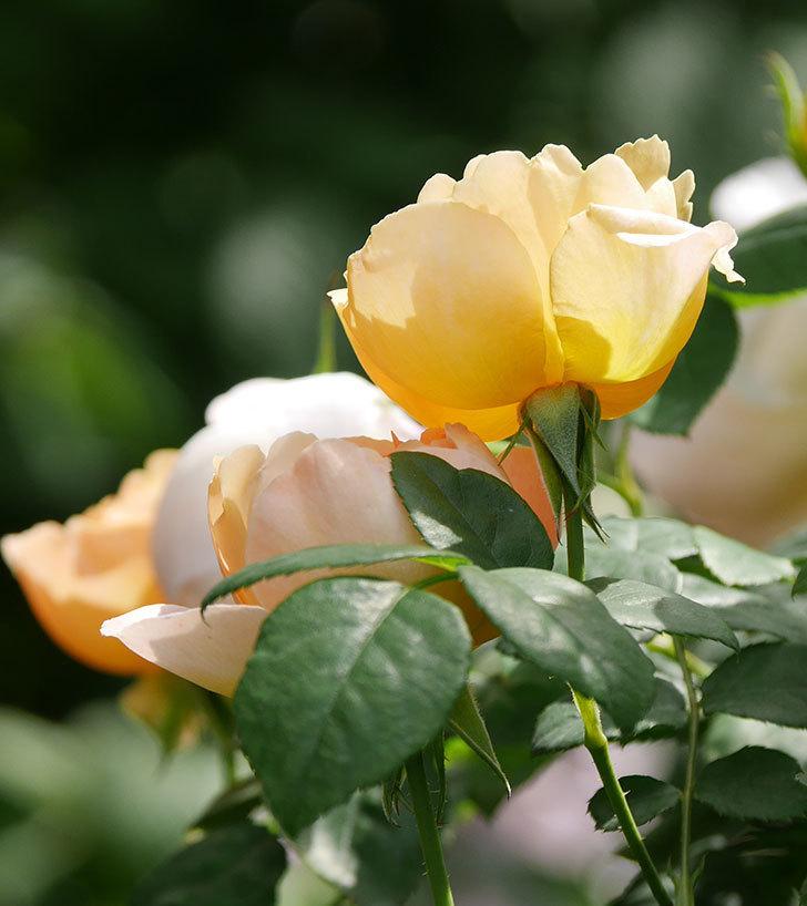 コントゥ・ドゥ・シャンパーニュ(ツルバラ)の花が咲いた。2019年-3.jpg
