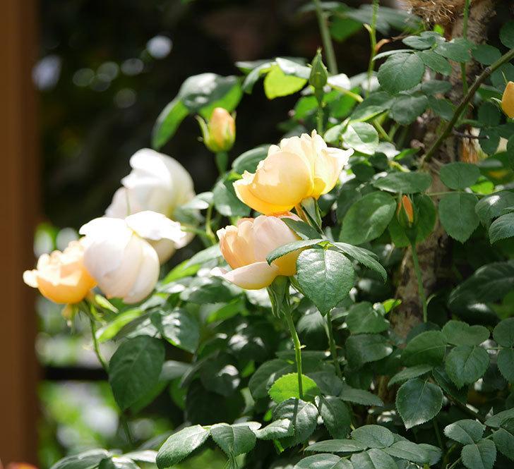 コントゥ・ドゥ・シャンパーニュ(ツルバラ)の花が咲いた。2019年-4.jpg