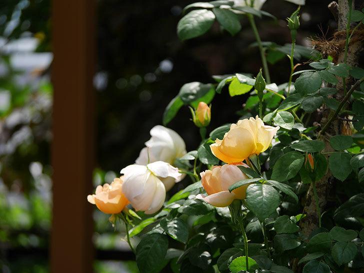 コントゥ・ドゥ・シャンパーニュ(ツルバラ)の花が咲いた。2019年-5.jpg