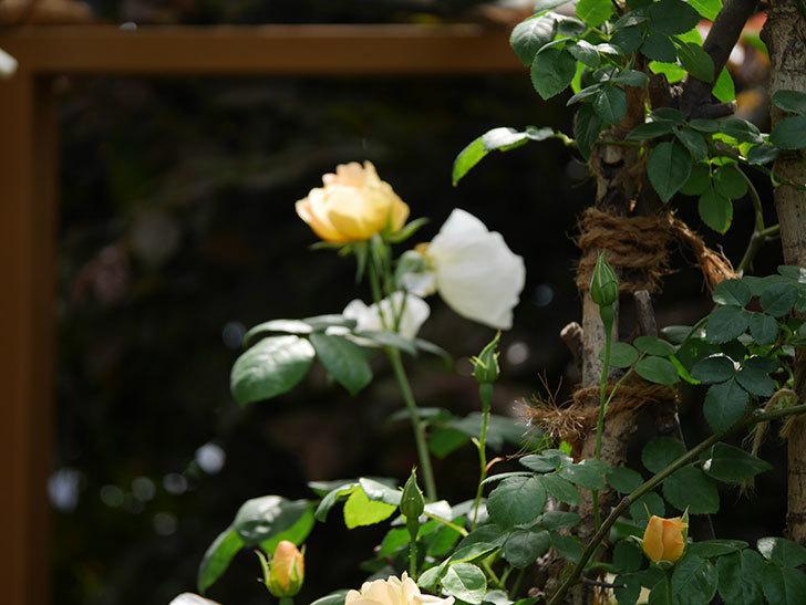 コントゥ・ドゥ・シャンパーニュ(ツルバラ)の花が咲いた。2019年-6.jpg