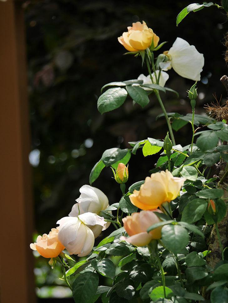 コントゥ・ドゥ・シャンパーニュ(ツルバラ)の花が咲いた。2019年-7.jpg