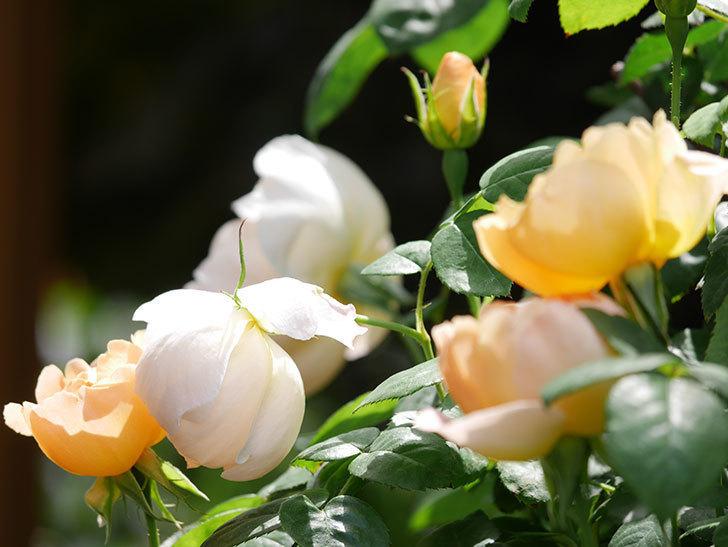 コントゥ・ドゥ・シャンパーニュ(ツルバラ)の花が咲いた。2019年-8.jpg