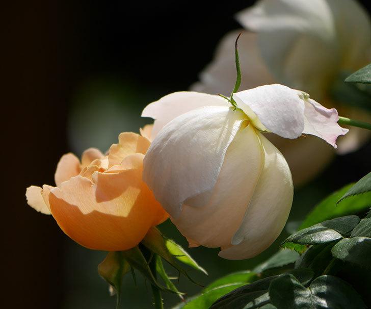 コントゥ・ドゥ・シャンパーニュ(ツルバラ)の花が咲いた。2019年-9.jpg