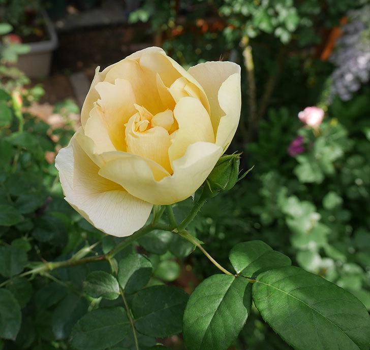 コントゥ・ドゥ・シャンパーニュ(ツルバラ)の花が咲きだした。2019年-1.jpg