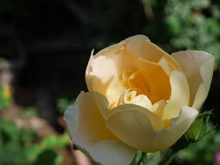 コントゥ・ドゥ・シャンパーニュ(ツルバラ)の花が咲きだした。2019年-10.jpg