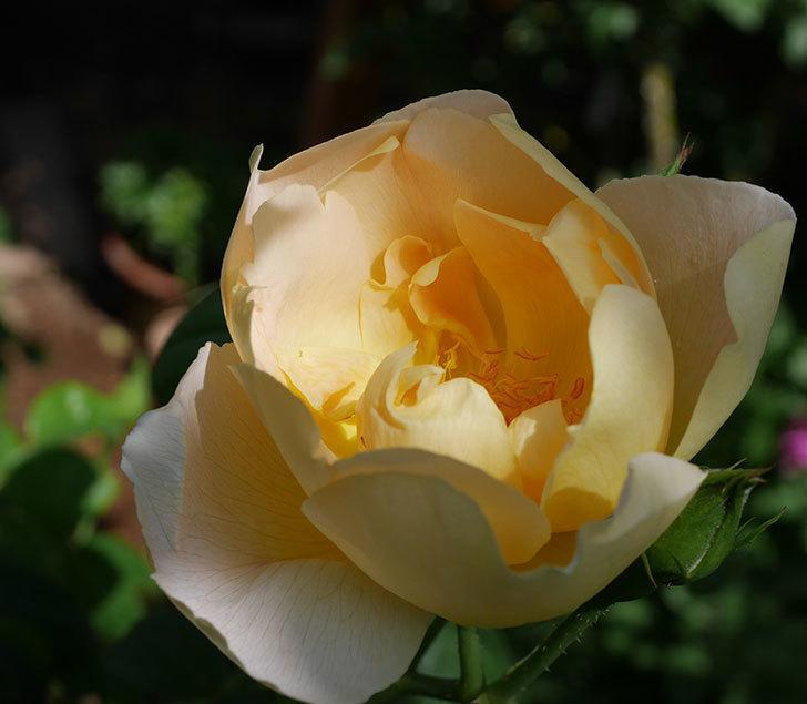 コントゥ・ドゥ・シャンパーニュ(ツルバラ)の花が咲きだした。2019年-11.jpg