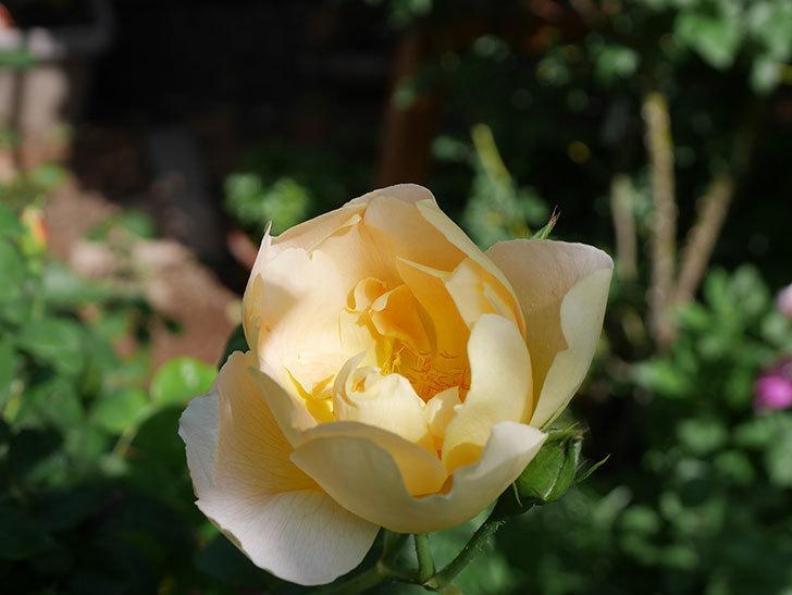 コントゥ・ドゥ・シャンパーニュ(ツルバラ)の花が咲きだした。2019年-12.jpg