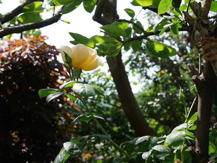 コントゥ・ドゥ・シャンパーニュ(ツルバラ)の花が咲きだした。2019年-13.jpg