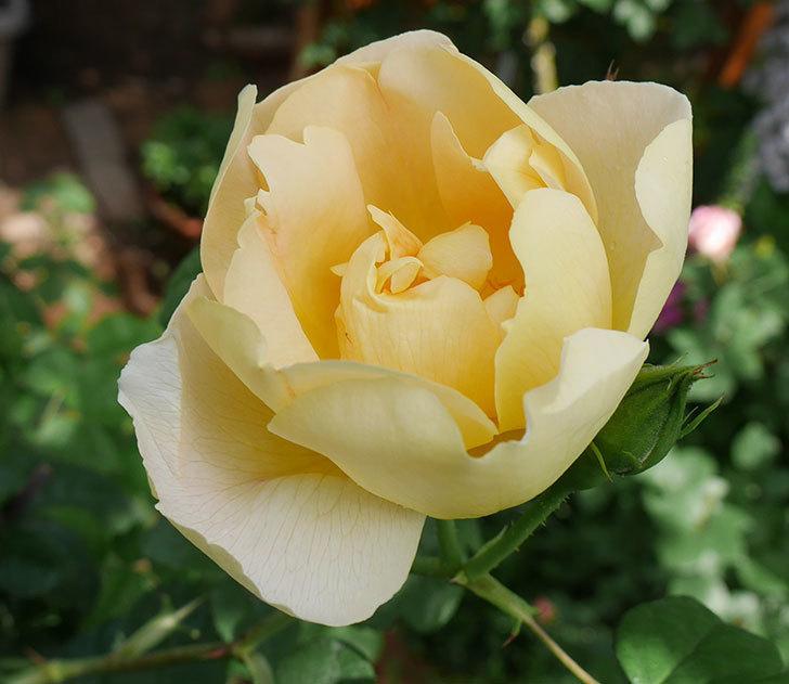 コントゥ・ドゥ・シャンパーニュ(ツルバラ)の花が咲きだした。2019年-2.jpg