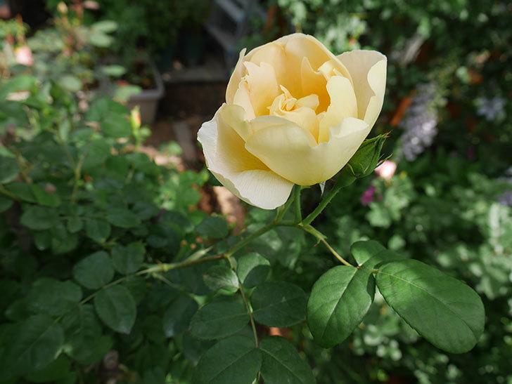 コントゥ・ドゥ・シャンパーニュ(ツルバラ)の花が咲きだした。2019年-3.jpg