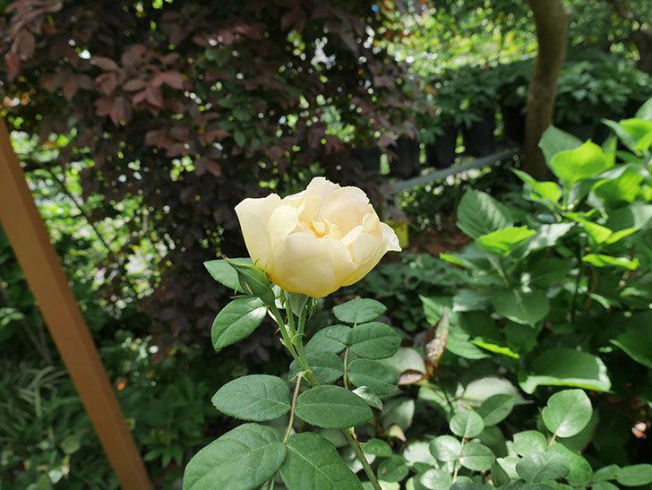 コントゥ・ドゥ・シャンパーニュ(ツルバラ)の花が咲きだした。2019年-4.jpg