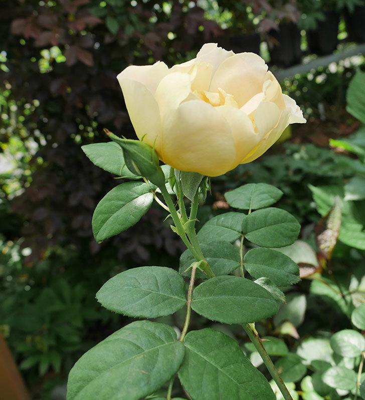 コントゥ・ドゥ・シャンパーニュ(ツルバラ)の花が咲きだした。2019年-5.jpg