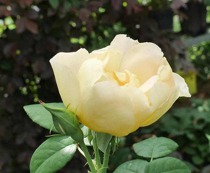 コントゥ・ドゥ・シャンパーニュ(ツルバラ)の花が咲きだした。2019年-6.jpg
