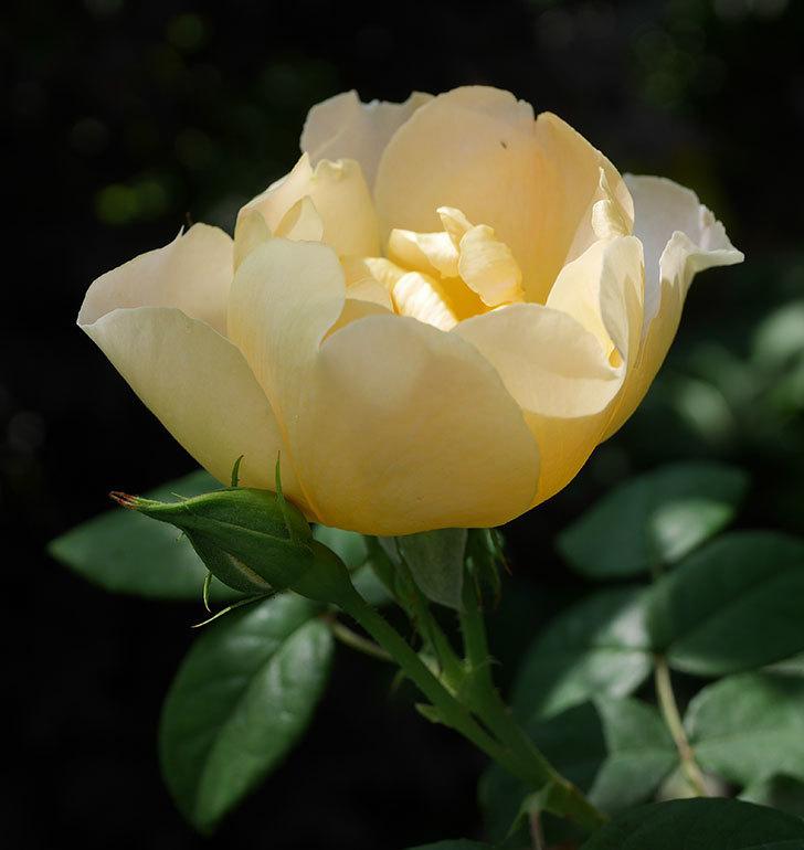 コントゥ・ドゥ・シャンパーニュ(ツルバラ)の花が咲きだした。2019年-8.jpg