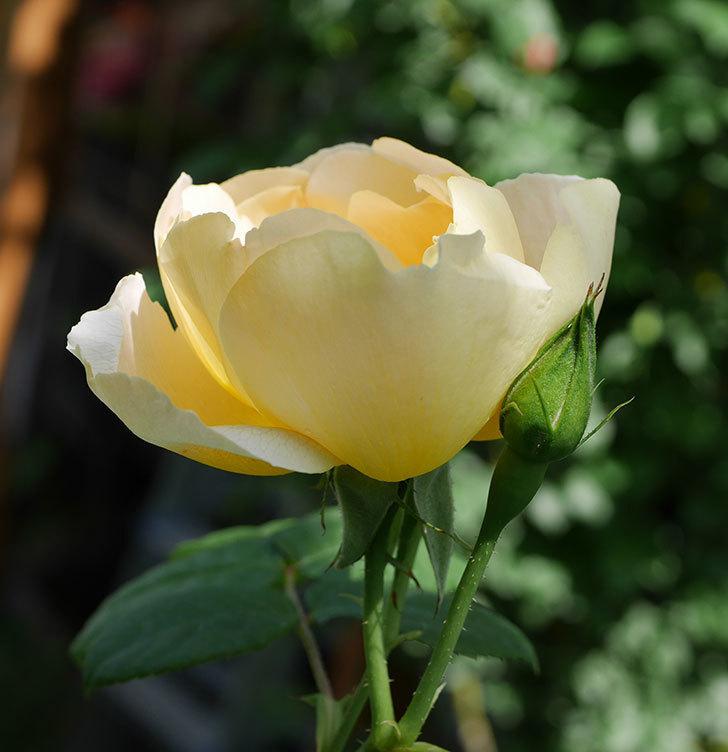 コントゥ・ドゥ・シャンパーニュ(ツルバラ)の花が咲きだした。2019年-9.jpg