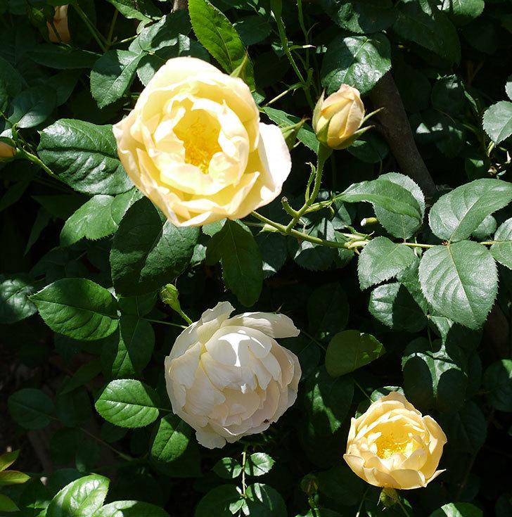 コントゥ・ドゥ・シャンパーニュ(ツルバラ)の花が増えてきた。2017年-1.jpg