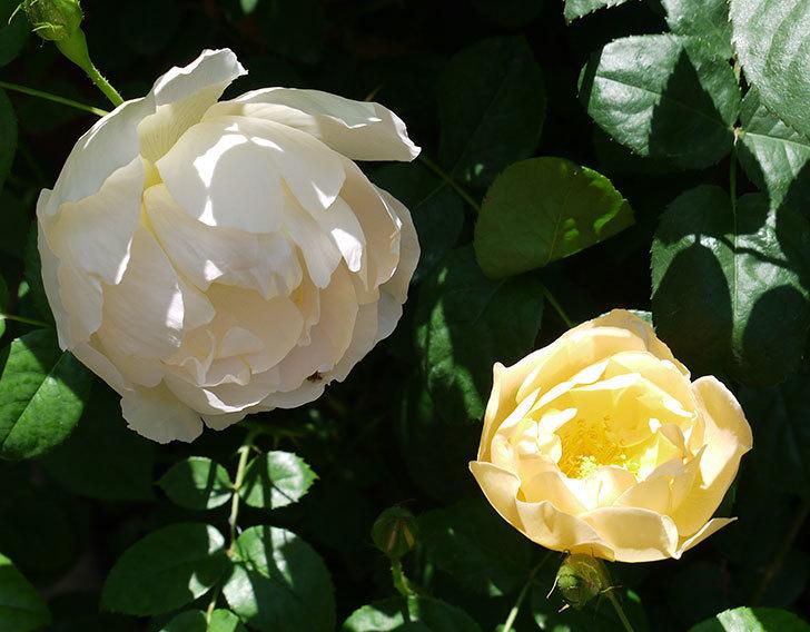 コントゥ・ドゥ・シャンパーニュ(ツルバラ)の花が増えてきた。2017年-2.jpg