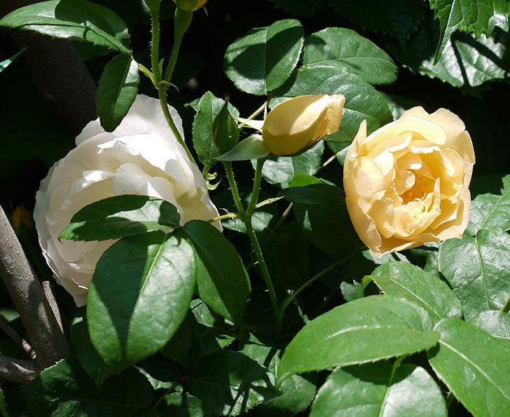 コントゥ・ドゥ・シャンパーニュ(ツルバラ)の花が増えてきた。2017年-3.jpg