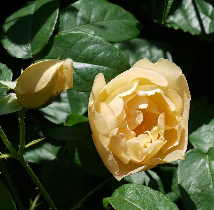 コントゥ・ドゥ・シャンパーニュ(ツルバラ)の花が増えてきた。2017年-4.jpg
