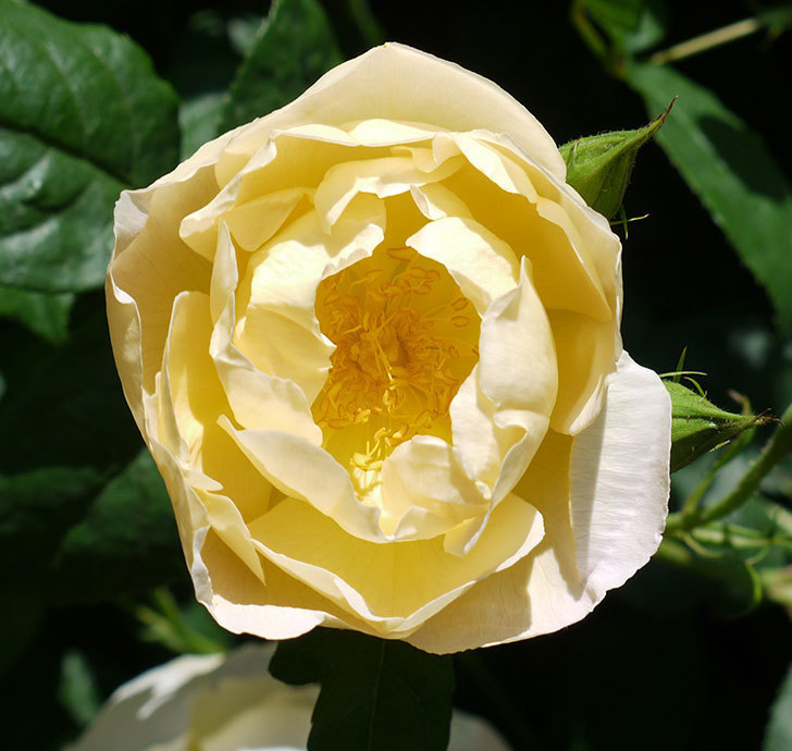 コントゥ・ドゥ・シャンパーニュ(ツルバラ)の花が増えてきた。2017年-5.jpg