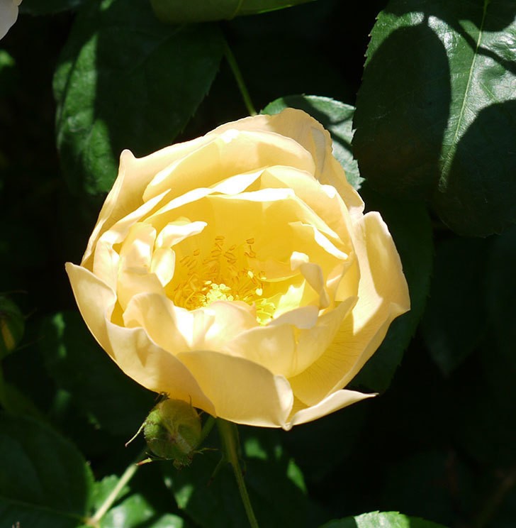 コントゥ・ドゥ・シャンパーニュ(ツルバラ)の花が増えてきた。2017年-6.jpg