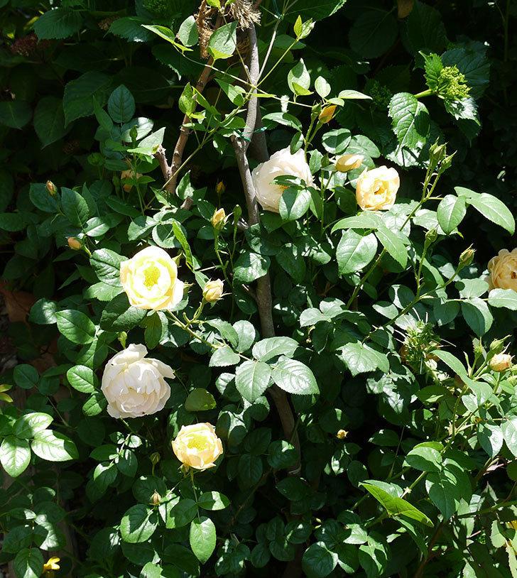 コントゥ・ドゥ・シャンパーニュ(ツルバラ)の花が増えてきた。2017年-7.jpg