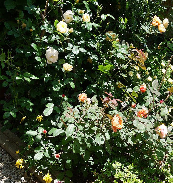 コントゥ・ドゥ・シャンパーニュ(ツルバラ)の花が増えてきた。2017年-8.jpg