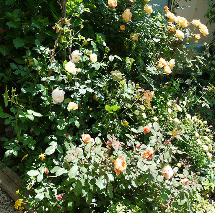 コントゥ・ドゥ・シャンパーニュ(ツルバラ)の花が増えてきた。2017年-9.jpg