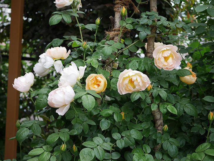 コントゥ・ドゥ・シャンパーニュ(ツルバラ)の花が増えて来た。2019年-1.jpg