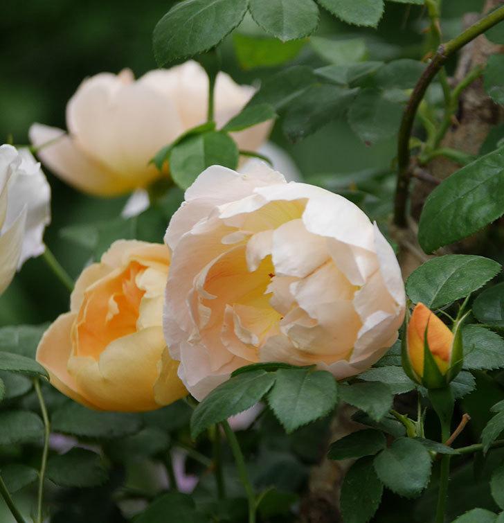 コントゥ・ドゥ・シャンパーニュ(ツルバラ)の花が増えて来た。2019年-10.jpg