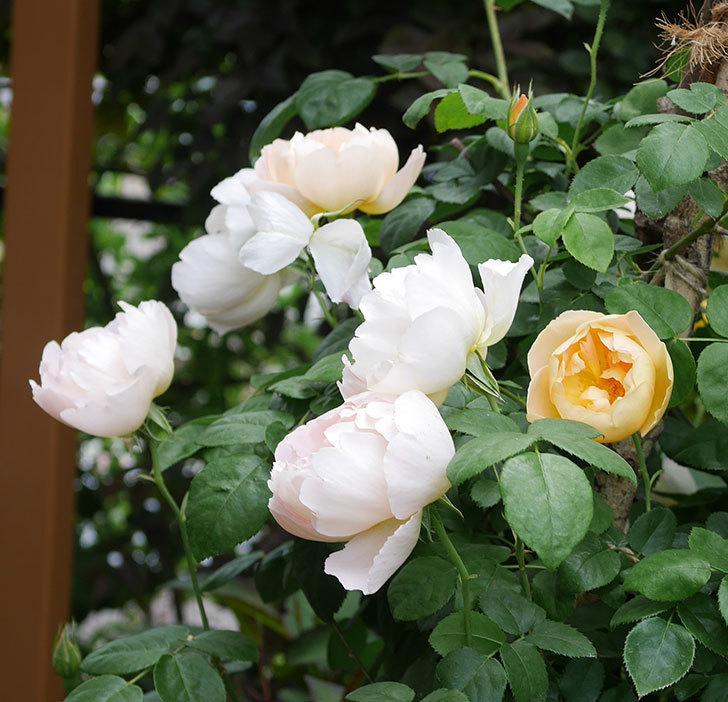コントゥ・ドゥ・シャンパーニュ(ツルバラ)の花が増えて来た。2019年-2.jpg