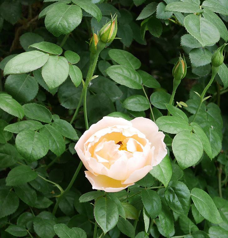 コントゥ・ドゥ・シャンパーニュ(ツルバラ)の花が増えて来た。2019年-3.jpg
