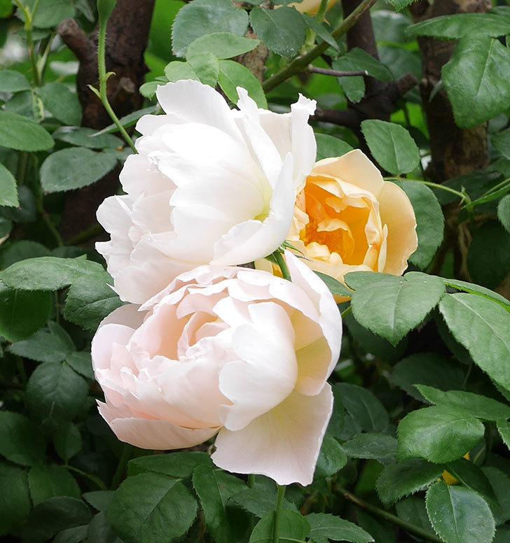 コントゥ・ドゥ・シャンパーニュ(ツルバラ)の花が増えて来た。2019年-4.jpg