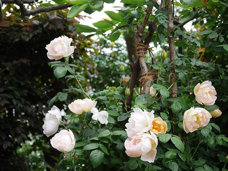 コントゥ・ドゥ・シャンパーニュ(ツルバラ)の花が増えて来た。2019年-5.jpg