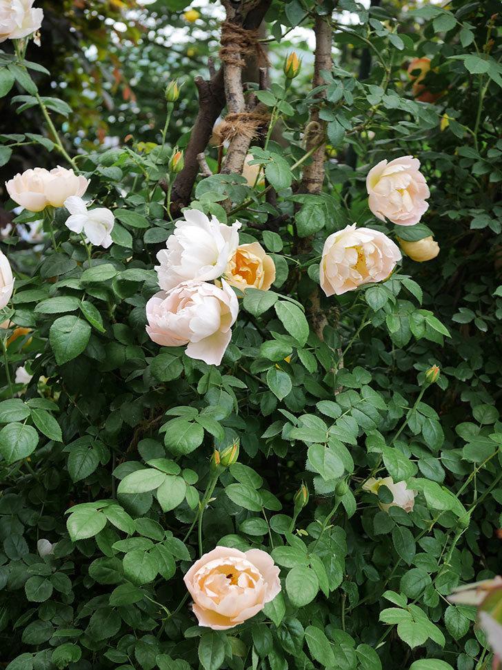 コントゥ・ドゥ・シャンパーニュ(ツルバラ)の花が増えて来た。2019年-6.jpg