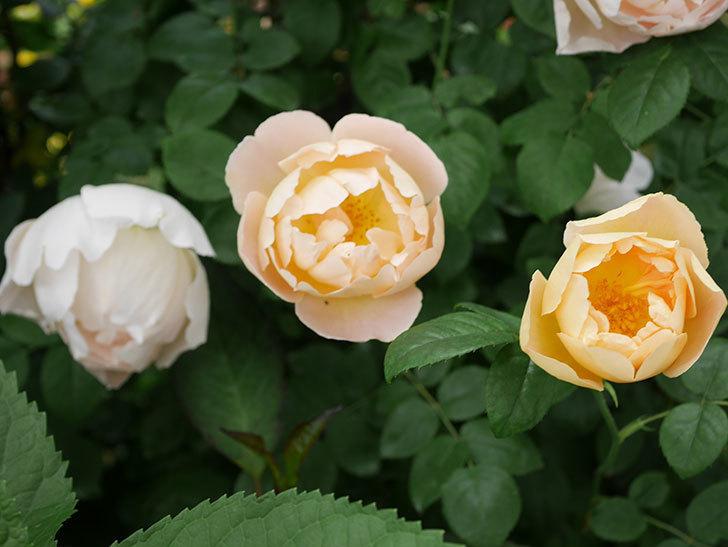 コントゥ・ドゥ・シャンパーニュ(ツルバラ)の花が増えて来た。2019年-7.jpg