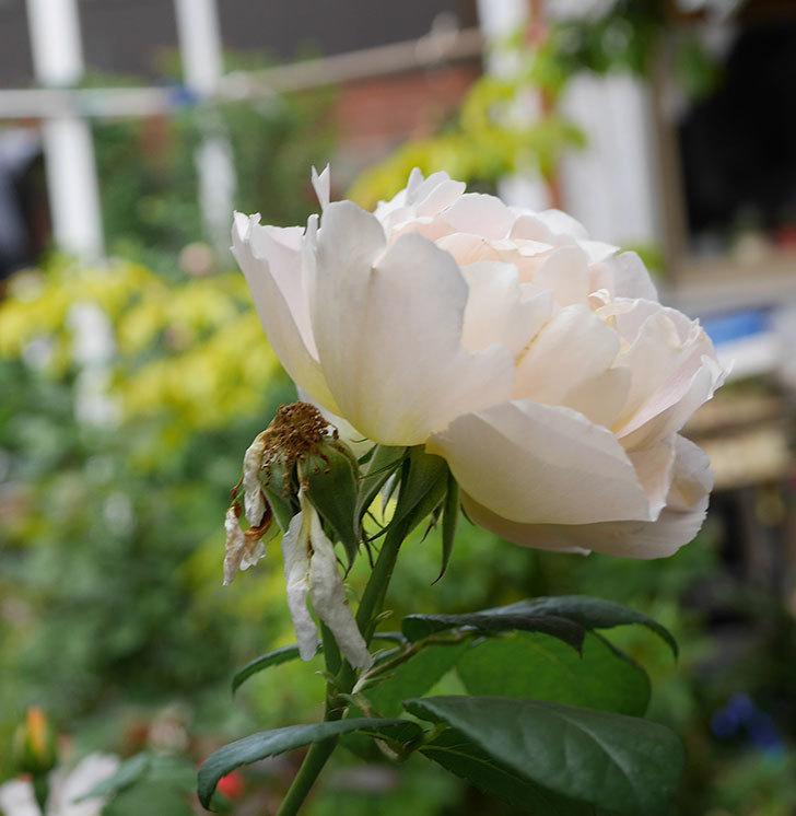 コントゥ・ドゥ・シャンパーニュ(ツルバラ)の花が増えて来た。2019年-8.jpg